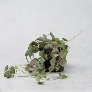 Suculentas Ceropegia Woodii o rosario de corazones
