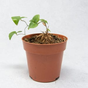 Suculentas Dioscorea Elephantipes