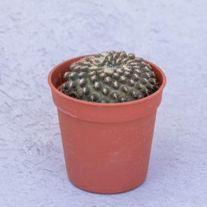 Cactus Eriosyce Odieri Monteamargensis