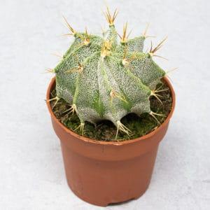 mini Astrophytum Ornatum de 5,5 cm,