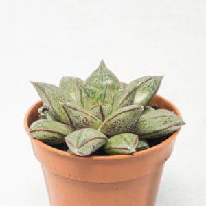 Suculentas Echeveria Purpusorum