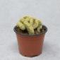 Cactus Mammillaria Elongata Cristata