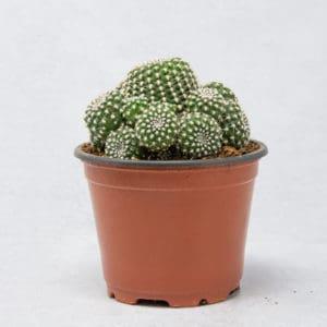 Compra ya tu cactus Rebutia Kraiziana en maceta de 8,5 cm.