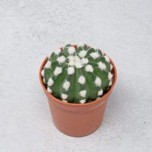 Mini Echinopsis Subdenudata