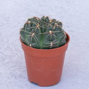 Cactus Gymnocalycium Baldianum