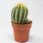 Esta Parodia Magnifica o Notocactus magnificus o cactus globo