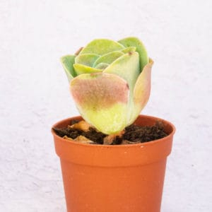Suculentas Greenovia Rodrentalis Rose