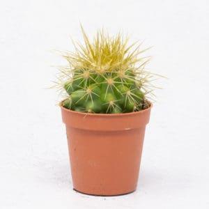 Cactus Echinocactus Grusonii o asiento de suegra