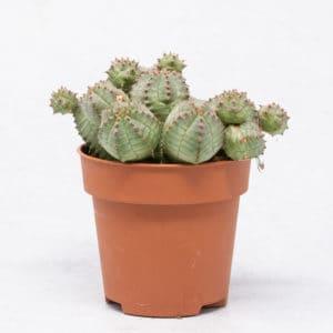 Sucuentas Euphorbia Pseudoglobosa