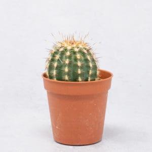 Cactus Echinocereus Cloracanthus