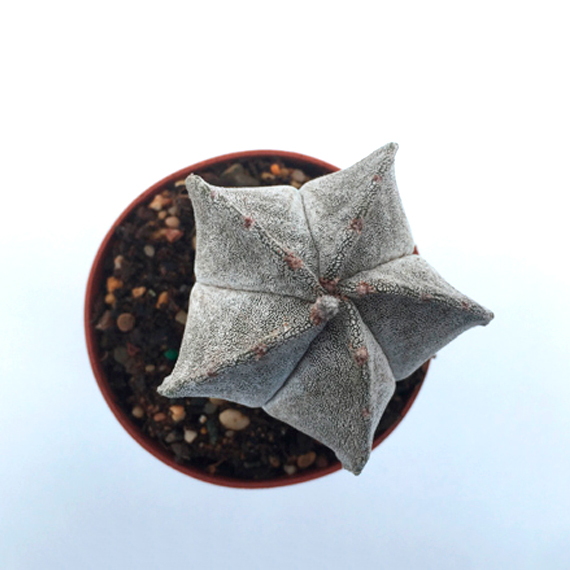 Cactus Astrophytum Myriostigma
