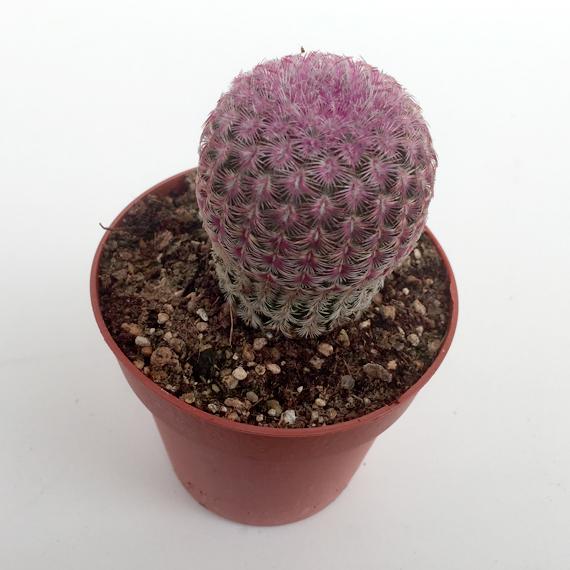 Cactus Echinocereus Rigidissimus