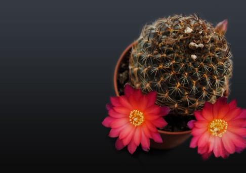 comprar cactus con flor