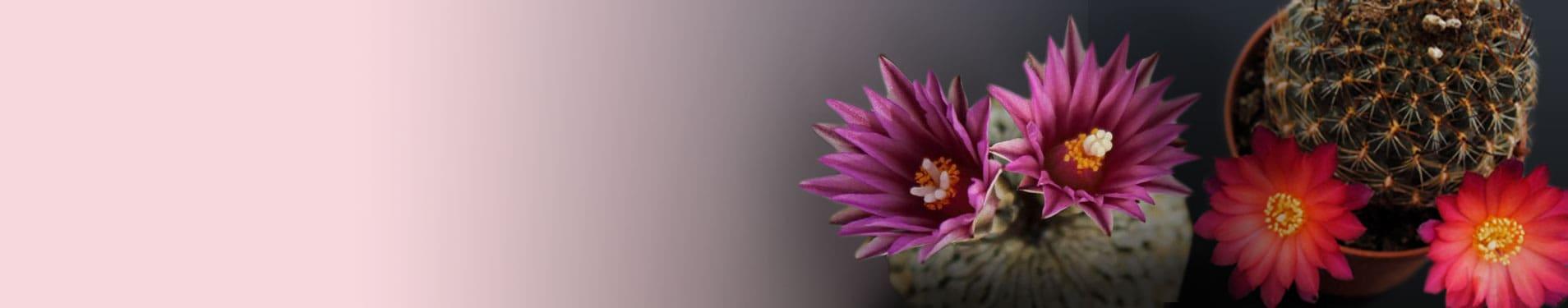 Cactus con flores online