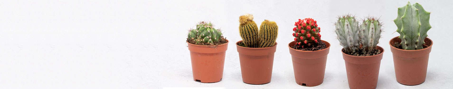 comprar cactus pequeños online
