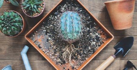 Trasplante de un cactus o de una suculenta a otra maceta