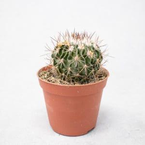 Echinofossulocactus Multicostatum