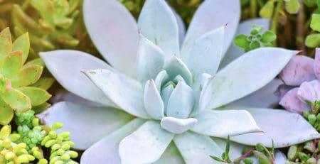 Pruina suculentas comprar cactus online