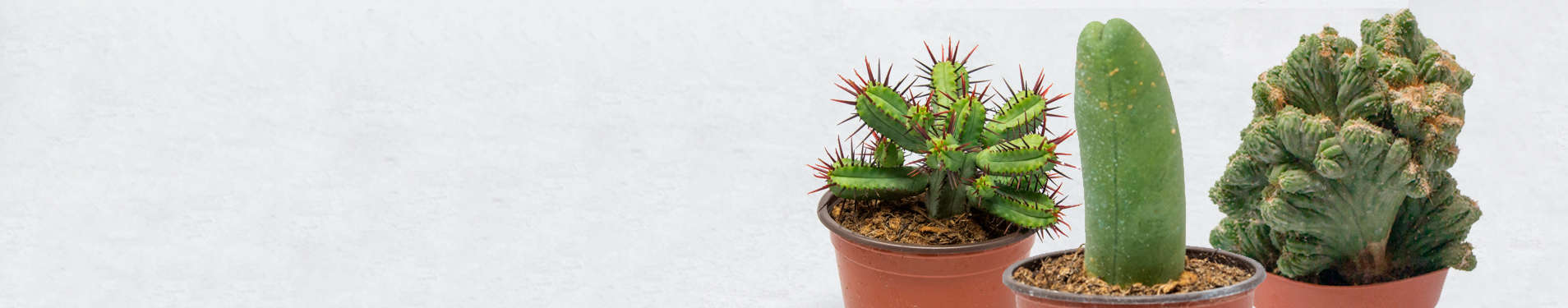 Comprar Cactus Raros Onlines