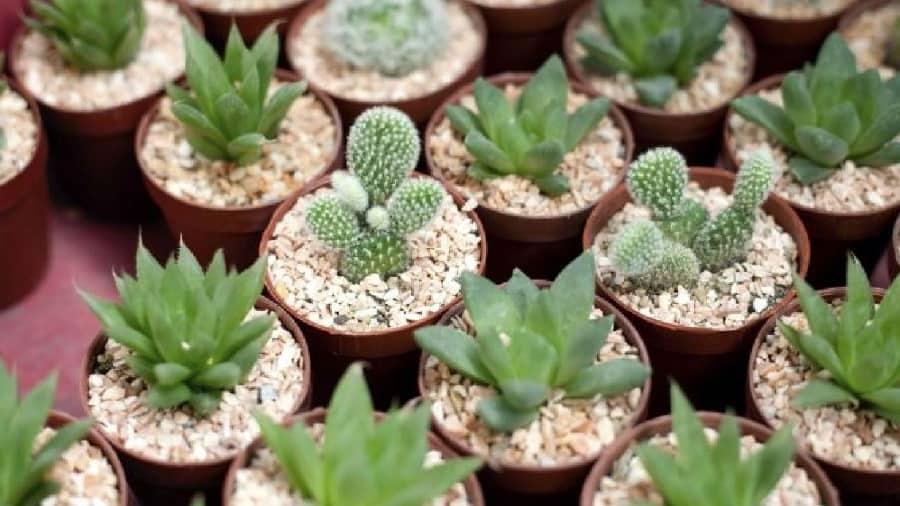 cuidado de planta crasas