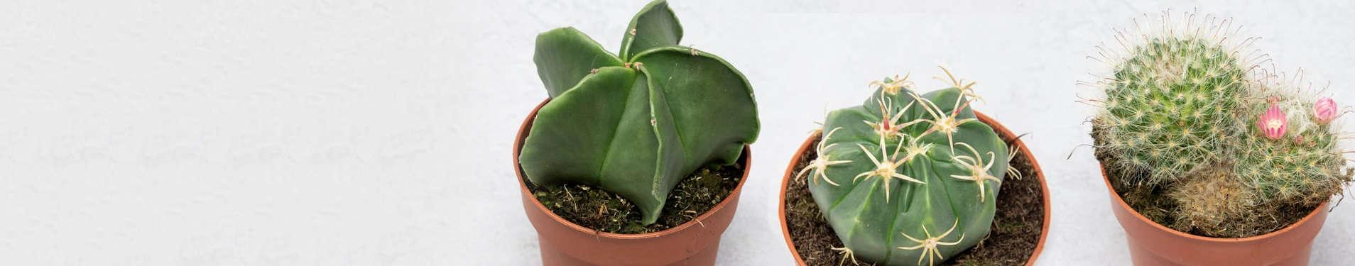 Comprar online cactus redondos