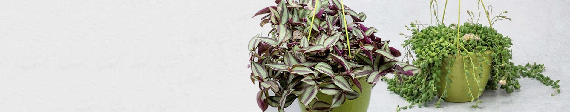 Comparar online plantas suculentas colgantes