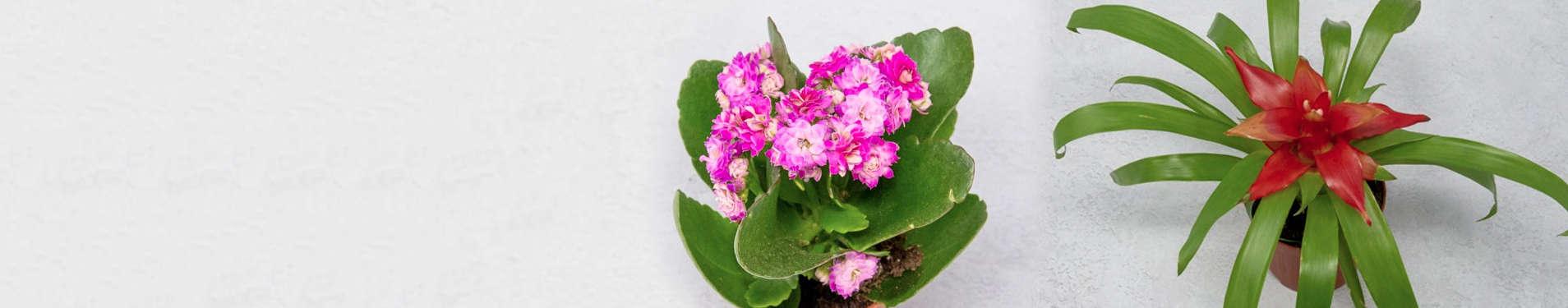 Comprar online suculentas con flores